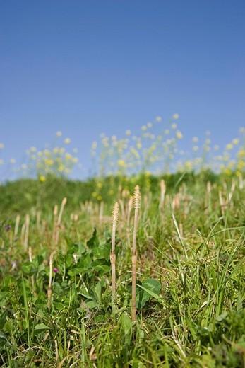 Stock Photo: 4034-8992 Field horsetail, rape blossoms, spring, the spring breathe, meadow, Yoshimi, Saitama, Kanto, Japan