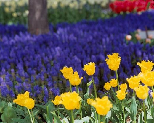 Tulip, Showa Memorial Park, Tachikawa, Tokyo, Japan : Stock Photo