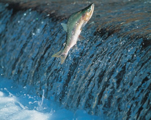 Trout, recurrence, Shiretoko, Iwaobetsu river, Shari, Hokkaido, Japan, World Heritage : Stock Photo
