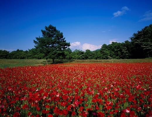 poppy, Flower field, Kiyosato, Hokuto, Yamanashi, Japan : Stock Photo