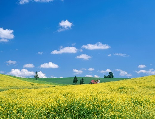 Brassica hirta field, red House, Biei, Hokkaido, Japan : Stock Photo