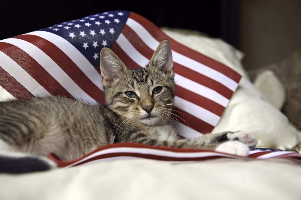 Stock Photo: 4036-118A Kitten resting on an American flag