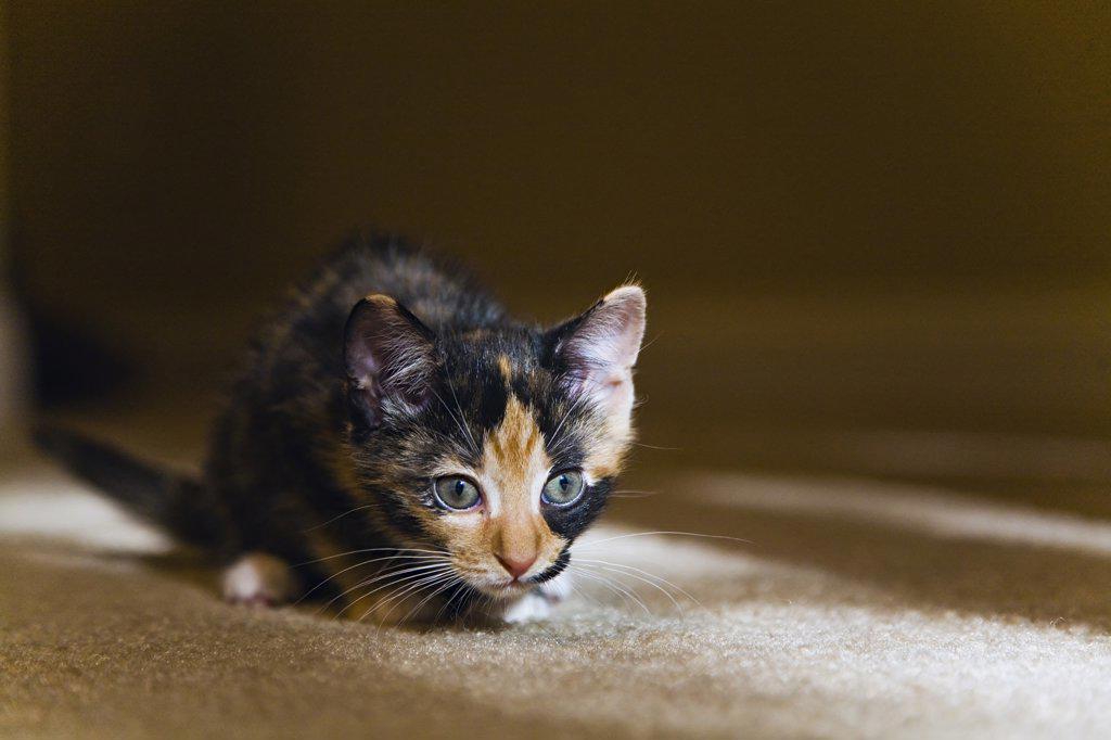 Stock Photo: 4036-150 Kitten resting on carpet
