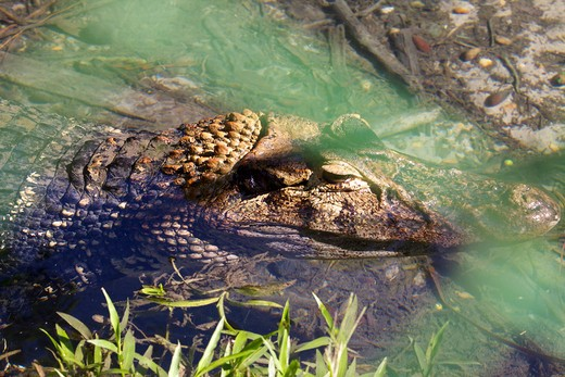Close-up of an alligator, Amazon Rainforest, Brazil : Stock Photo