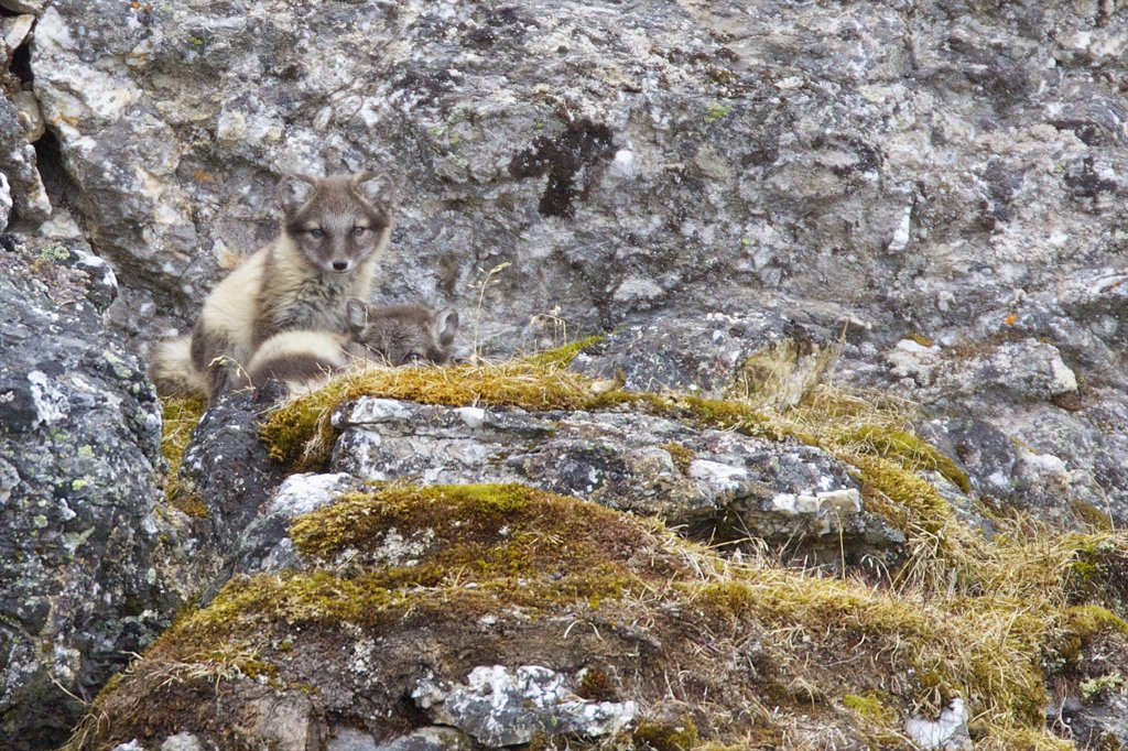 Stock Photo: 4042-1016 Arctic fox pups (Alopex lagopus) on a rock, Alkehornet, Spitsbergen, Svalbard Islands, Norway