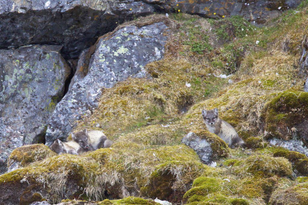 Arctic fox pups (Alopex lagopus) on a rock, Alkehornet, Spitsbergen, Svalbard Islands, Norway : Stock Photo