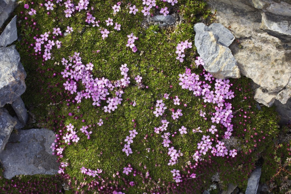 Stock Photo: 4042-1049 High angle view of Moss Campion (Silene acaulis) flowers, Spitsbergen, Svalbard Islands, Norway