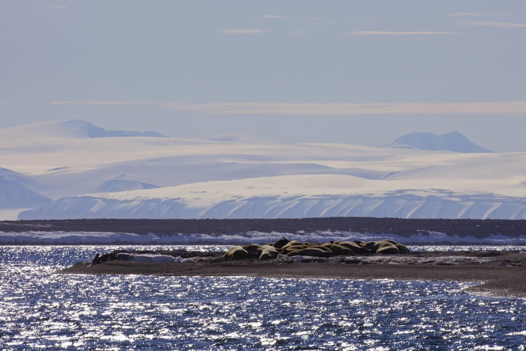 Stock Photo: 4042-1054 Group of walrus (Odobenus rosmarus) at seashore, Svalbard Islands, Norway