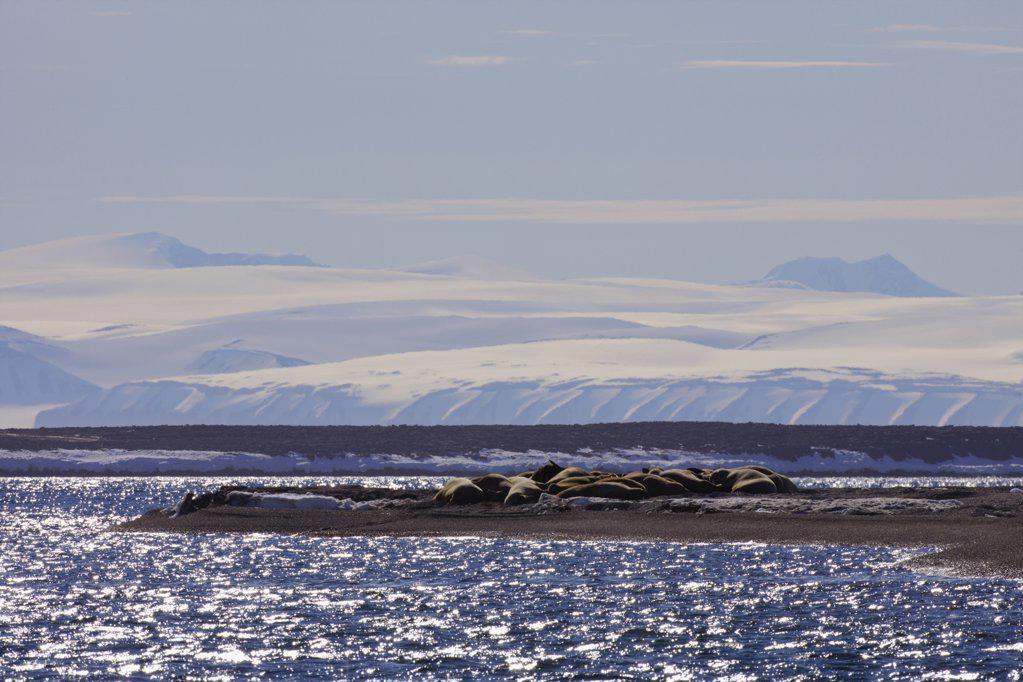 Group of walrus (Odobenus rosmarus) at seashore, Svalbard Islands, Norway : Stock Photo
