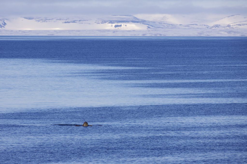 Walrus (Odobenus rosmarus) hunting for fish in ocean, Spitsbergen, Svalbard Islands, Norway : Stock Photo