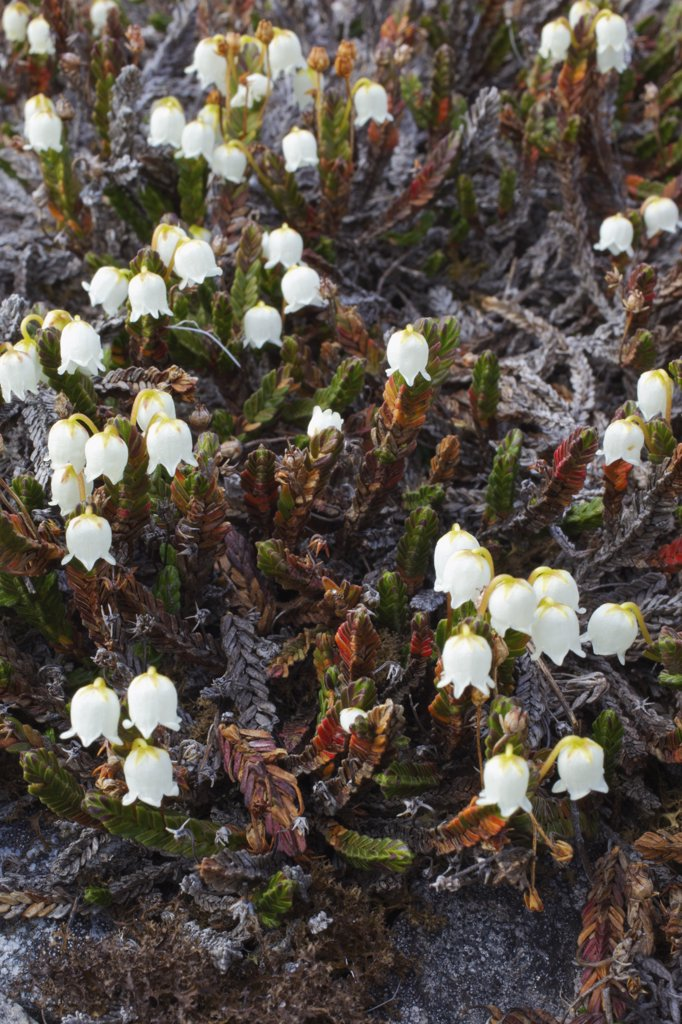 High angle view of Arctic Bell-Heather (Cassiope tetragona) flowers, Spitsbergen, Svalbard Islands, Norway : Stock Photo