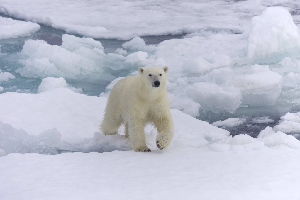 Stock Photo: 4042-1117 Polar bear (Ursus maritimus) walking on an ice floe, Spitsbergen, Svalbard Islands, Norway