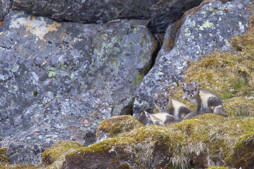 Stock Photo: 4042-1125A Arctic fox pups (Alopex lagopus) on a rock, Alkehornet, Spitsbergen, Svalbard Islands, Norway