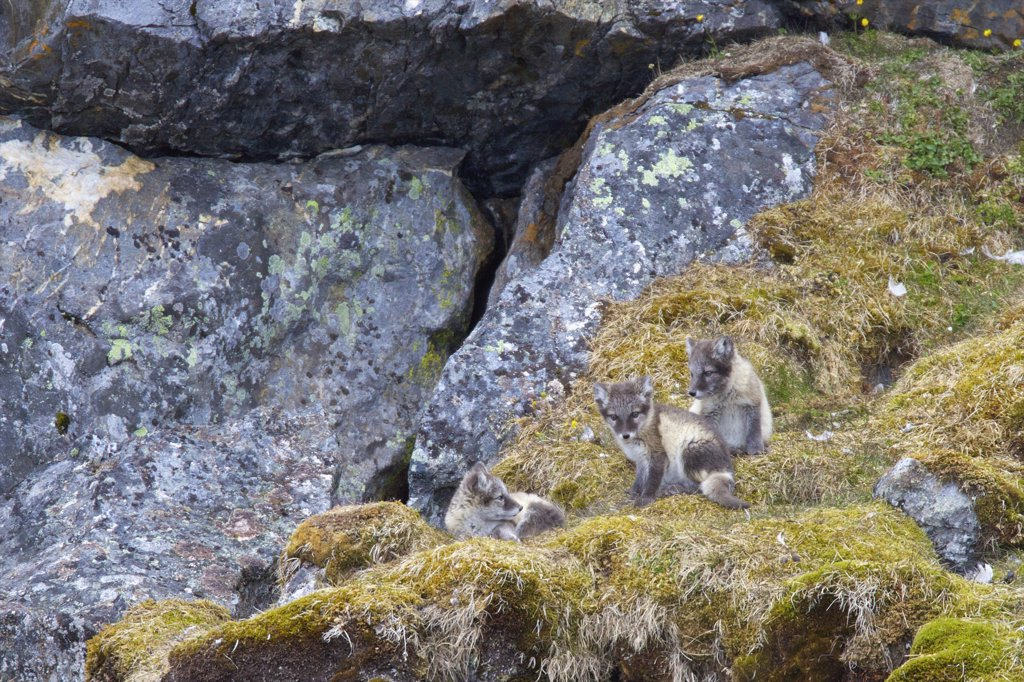 Arctic fox pups (Alopex lagopus) on a rock, Alkehornet, Spitsbergen, Svalbard Islands, Norway : Stock Photo