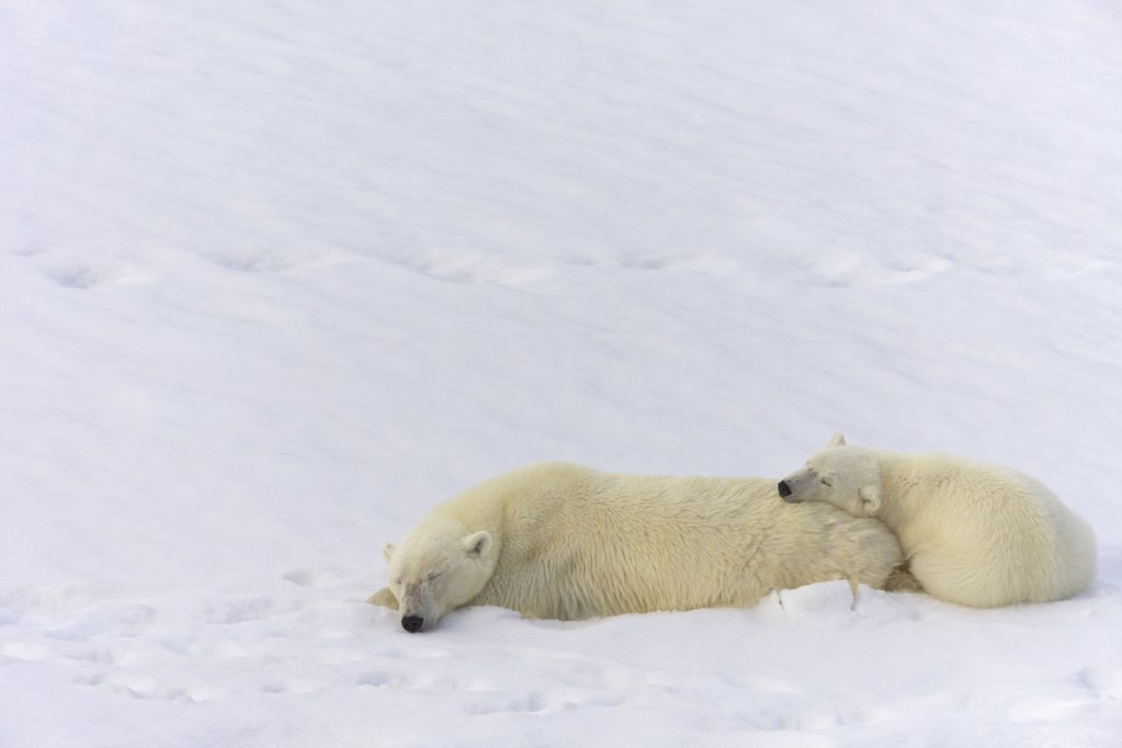 Stock Photo: 4042-1129A Female Polar bear (Ursus maritimus) resting with its cub in snow, Spitsbergen, Svalbard Islands, Norway