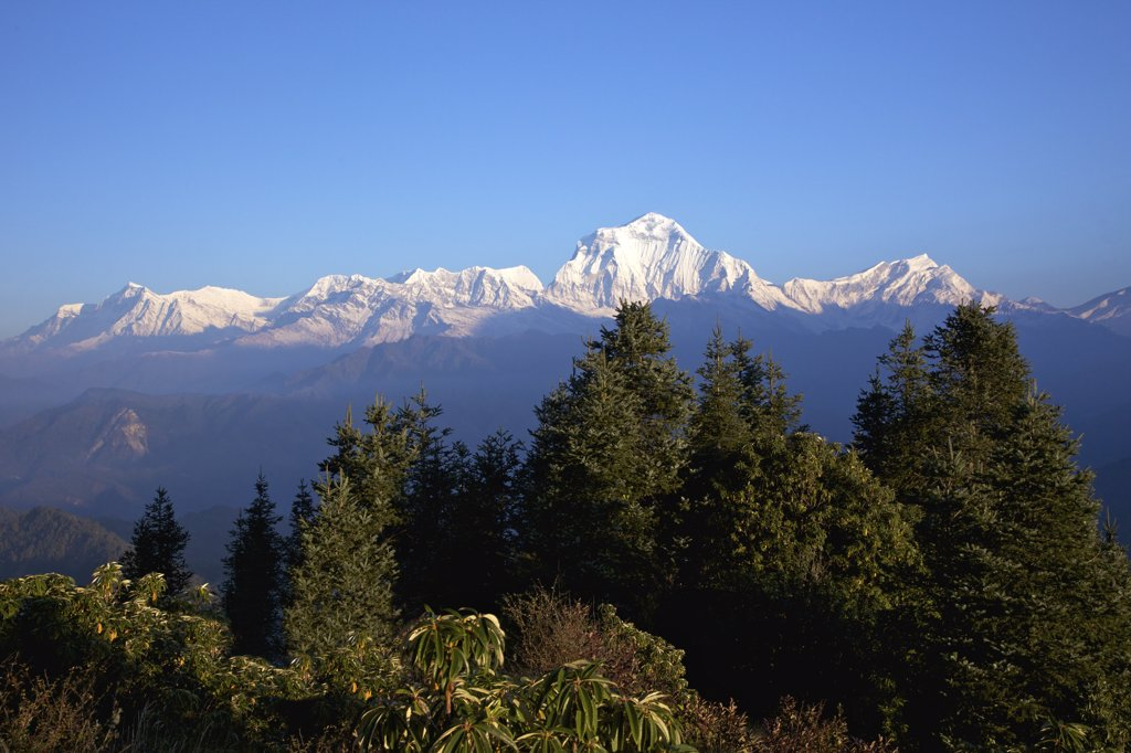 Trees in a forest with mountain range in the background, Dhaulagiri, Annapurna Sanctuary, Himalayas, Nepal : Stock Photo