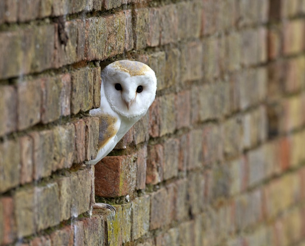 Barn owl (Tyto alba) looking out of a brick wall, Gloucestershire, England : Stock Photo