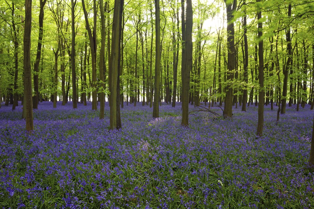 Stock Photo: 4042-1648 Common Bluebell flowers (Hyacinthoides non-scripta) in a forest, Ashridge, Hertfordshire, England