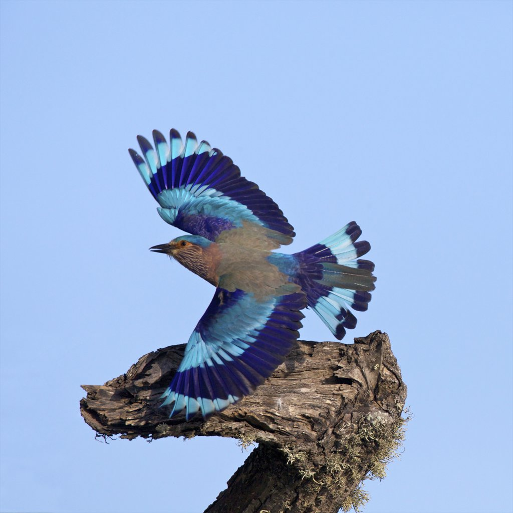 Stock Photo: 4042-2107 Sri Lanka, Yala National Park, Indian roller (Coracias Benghalensis)
