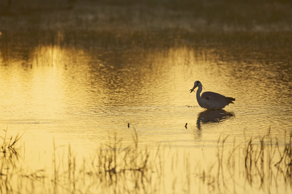 Stock Photo: 4042-2113 Sri Lanka, Yala National Park, Grey Heron (Ardea Cinerea) catching frog in early morning light