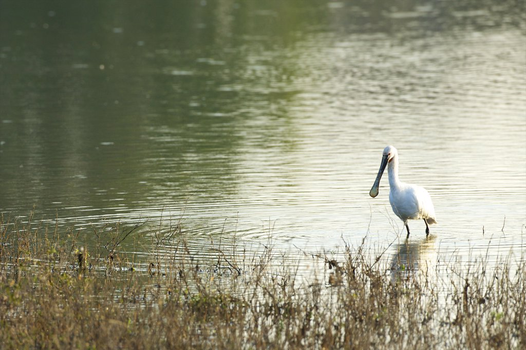 Stock Photo: 4042-2114 Sri Lanka, Yala National Park, Eurasian Spoonbill (Platalea Leucorodia)