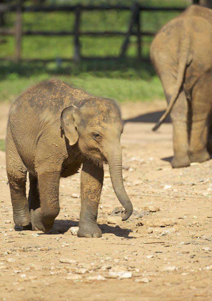 Stock Photo: 4042-2122 Sri Lanka, Due Wallace Elephant Transit Home, Baby Asian Elephants (Elephas maximus)