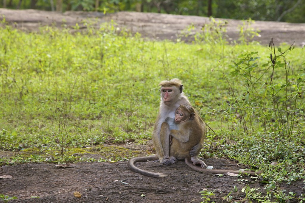 Sri Lanka, Sigiriya, Lion Rock Fortress,  Mother and baby of Toque macaque (Macaca sinica) : Stock Photo