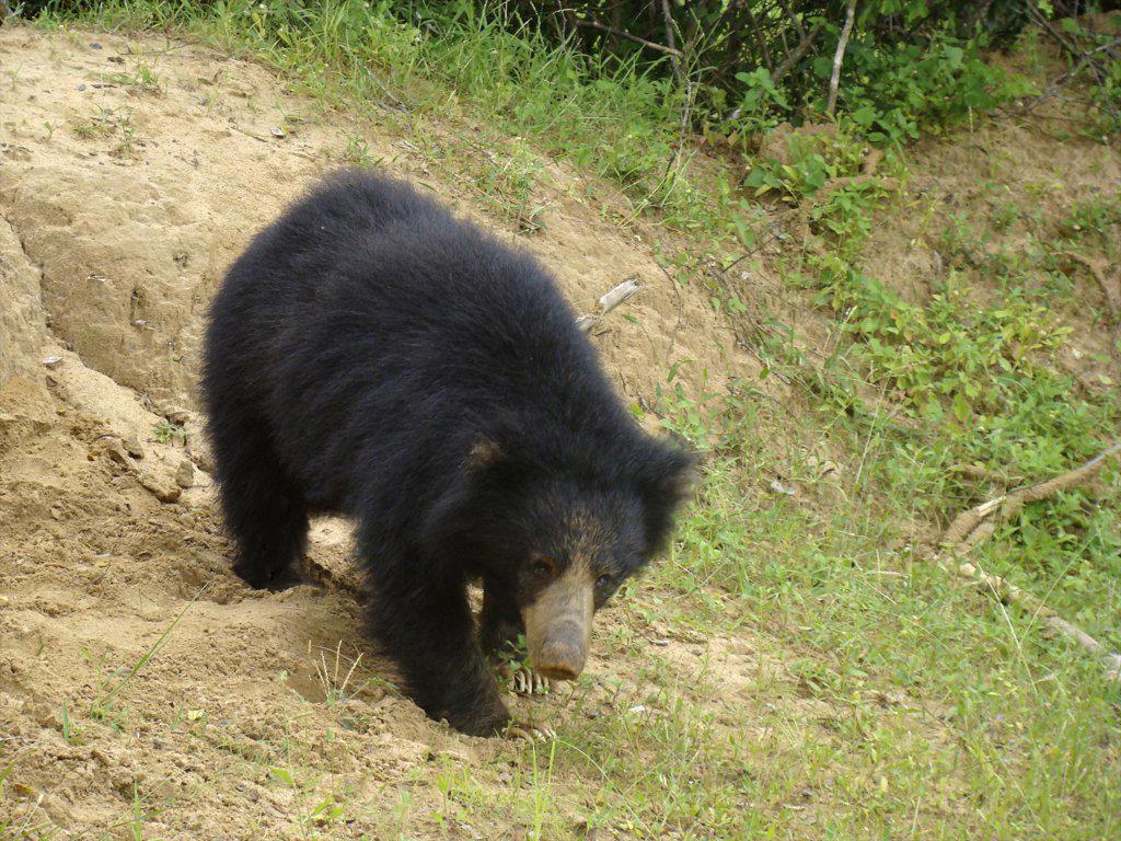 Sri Lanka, Yala National Park, Sloth Bear (Ursus ursinus) : Stock Photo