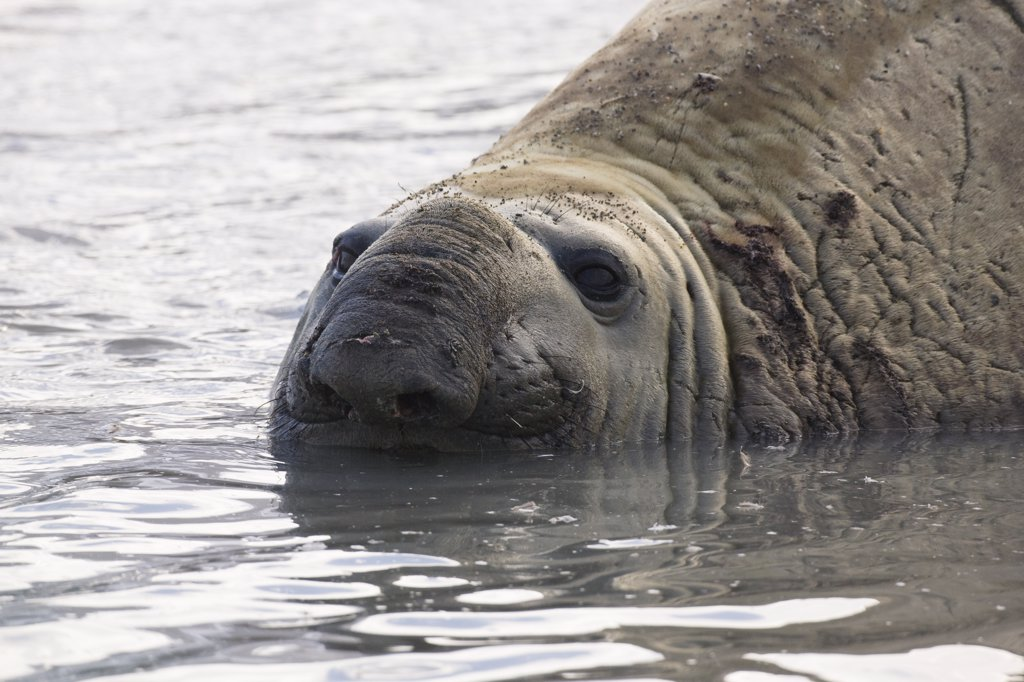 Stock Photo: 4042-435 Southern Elephant seal (Mirounga leonina) beachmaster with wounds, St. Andrews Bay, South Georgia