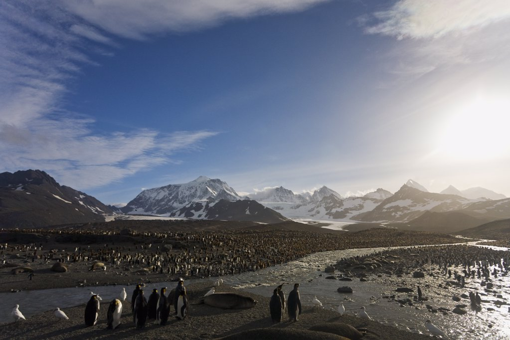 Colony of King penguins (Aptenodytes patagonicus) on the beach, St. Andrews Bay, South Georgia : Stock Photo