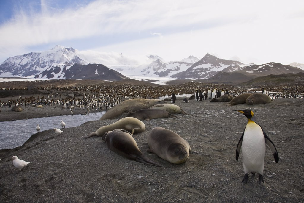 Elephant seals and King penguins (Aptenodytes patagonicus) on an island, St. Andrews Bay, South Georgia : Stock Photo