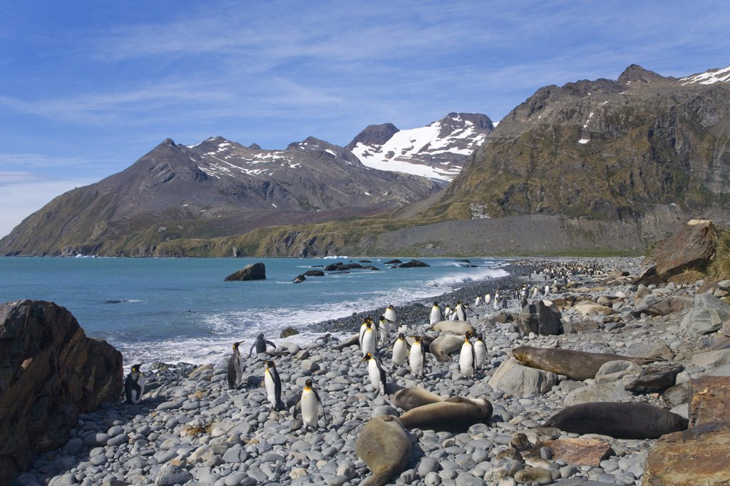 Stock Photo: 4042-555 Southern Elephant seals (Mirounga leonina) and King penguins (Aptenodytes patagonicus) on an island, Gold Harbor, South Georgia