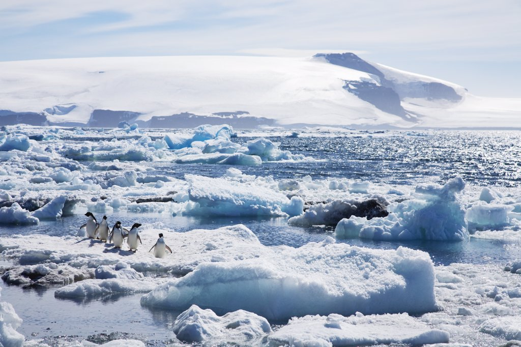 Stock Photo: 4042-739B Adelie penguins (Pygoscelis adeliae) on pack ice, Paulet Island, Antarctic Peninsula, Antarctica