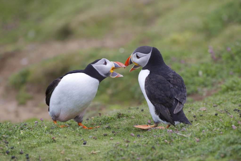 Stock Photo: 4042-933 Two male Atlantic puffins (Fratercula arctica) fighting for a mate, Pembrokeshire Coast National Park, Wales