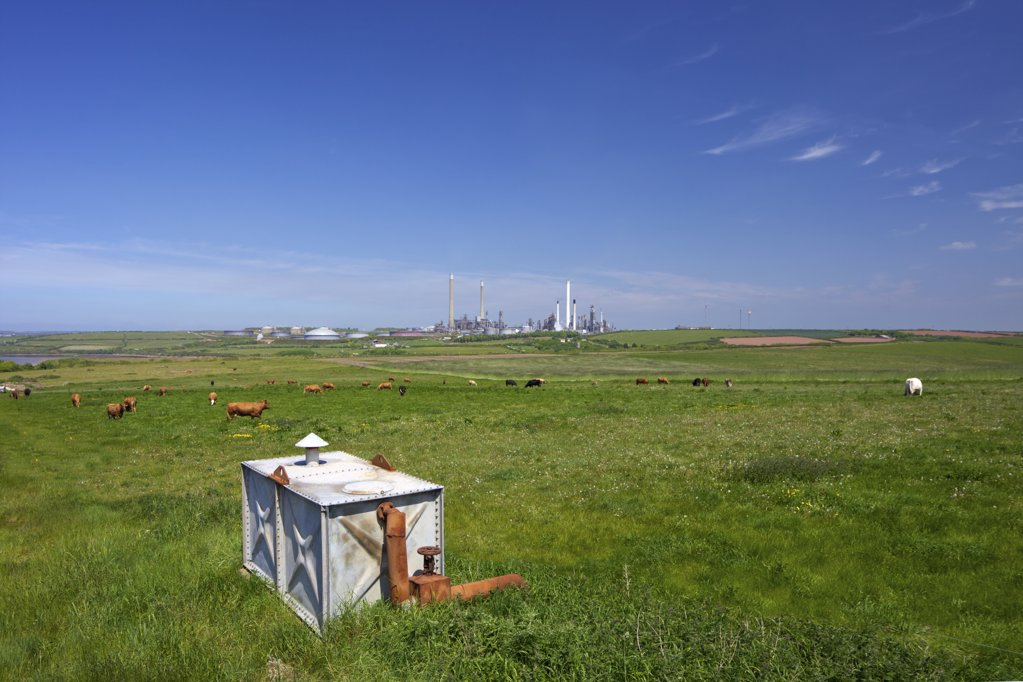 Herd of cows grazing in a meadow with Chevron oil refinery in the background, Rhoscrowther, Milford Haven, Pembrokeshire Coast National Park, Wales : Stock Photo
