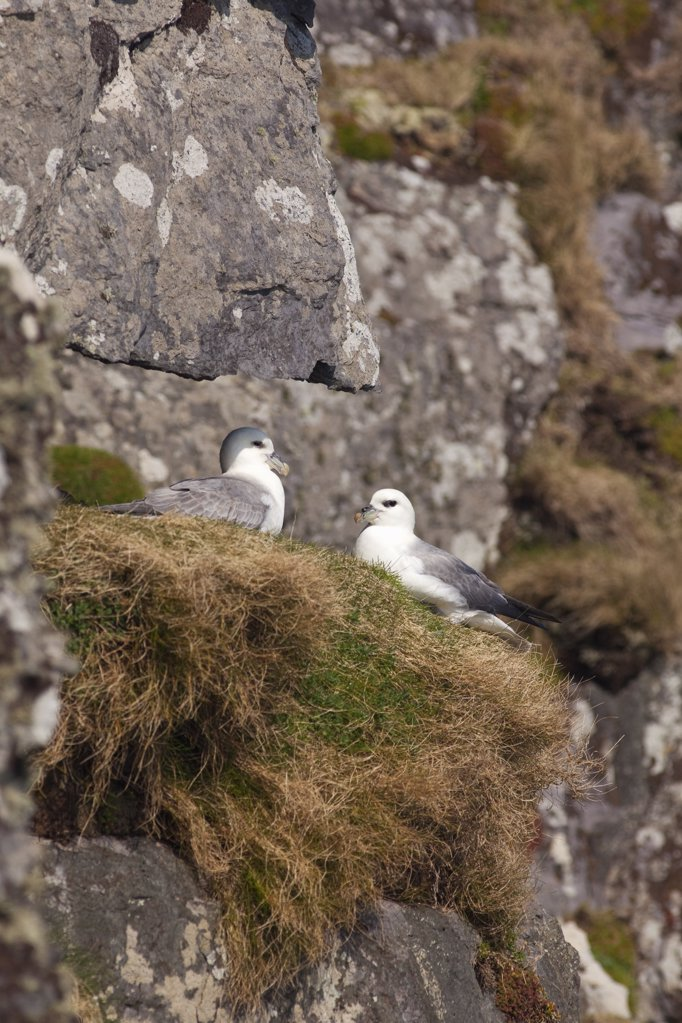 Pair of Northern fulmar (Fulmarus glacialis) nesting, Skellig Michael, Skellig Islands, County Kerry, Munster Province, Republic Of Ireland : Stock Photo