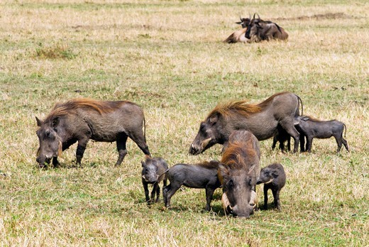 Stock Photo: 4045-1025 Kenya, Masai Mara National Reserve, View of Warthogs (Phacochoerus aethiopicus) on field