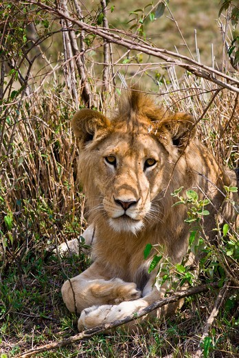 Kenya, Masai Mara National Reserve, Close-up of Young lion (Panthera leo) : Stock Photo