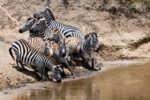 Stock Photo: 4045-1074 Kenya, Masai Mara National Reserve, Common zebras (Burchell's zebra) (Equus burchelli) drinking at Mara River