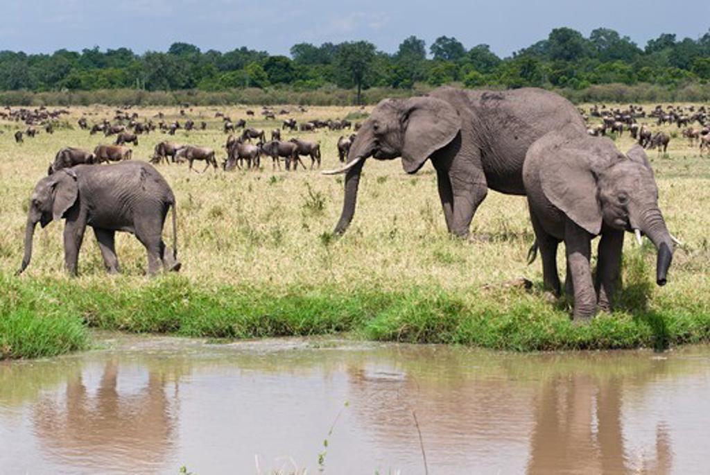 Stock Photo: 4045-1099 Kenya, Masai Mara National Reserve, African elephants (Loxodonta africana) on field