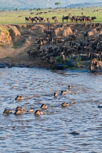 Stock Photo: 4045-1117 Kenya, Masai Mara National Reserve, Herd of blue wildebeest (brindled gnu) (Connochaetes taurinus) crossing Mara River