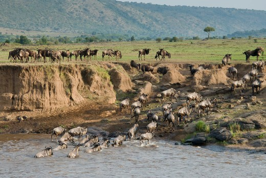 Kenya, Masai Mara National Reserve, Herd of blue wildebeest (brindled gnu) (Connochaetes taurinus) crossing Mara River : Stock Photo