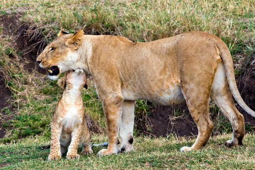 Kenya, Masai Mara National Reserve, Lion cub with lioness (Panthera leo) showing affection : Stock Photo