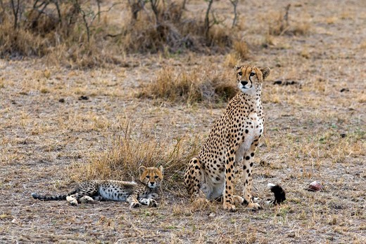 Kenya, Masai Mara National Reserve, View of Cheetah (Acinonyx jubatus) mother and two cubs : Stock Photo