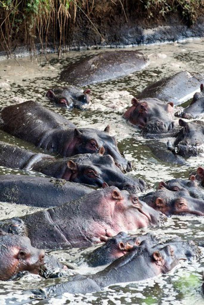 Stock Photo: 4045-1160 Kenya, Masai Mara National Reserve, Herd of Hippopotamuses (Hippopotamus amphibius)