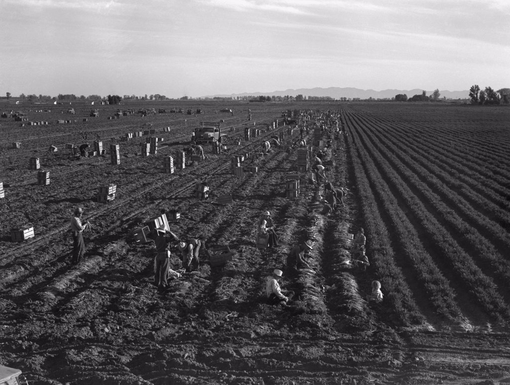 Stock Photo: 4048-6212 Gang labor of Mexicans and white Americans on a large carrot truck farm in California's Imperial Valley. Because of surplus workers during the Great Depression with these workers made only one dollar a day. February 1939 photograph by Dorothea Lange.