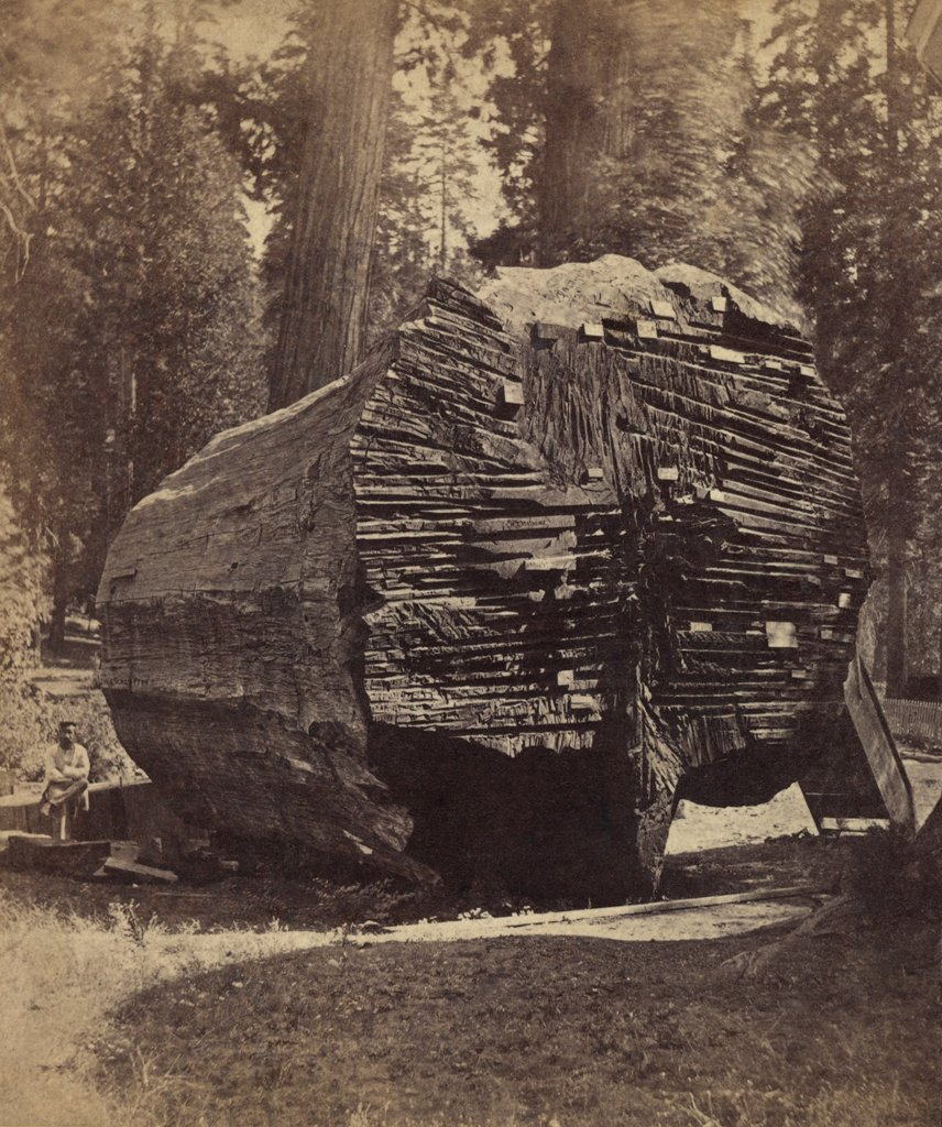 The original big tree was 92 feet in circumference when for How to calculate board feet in a tree