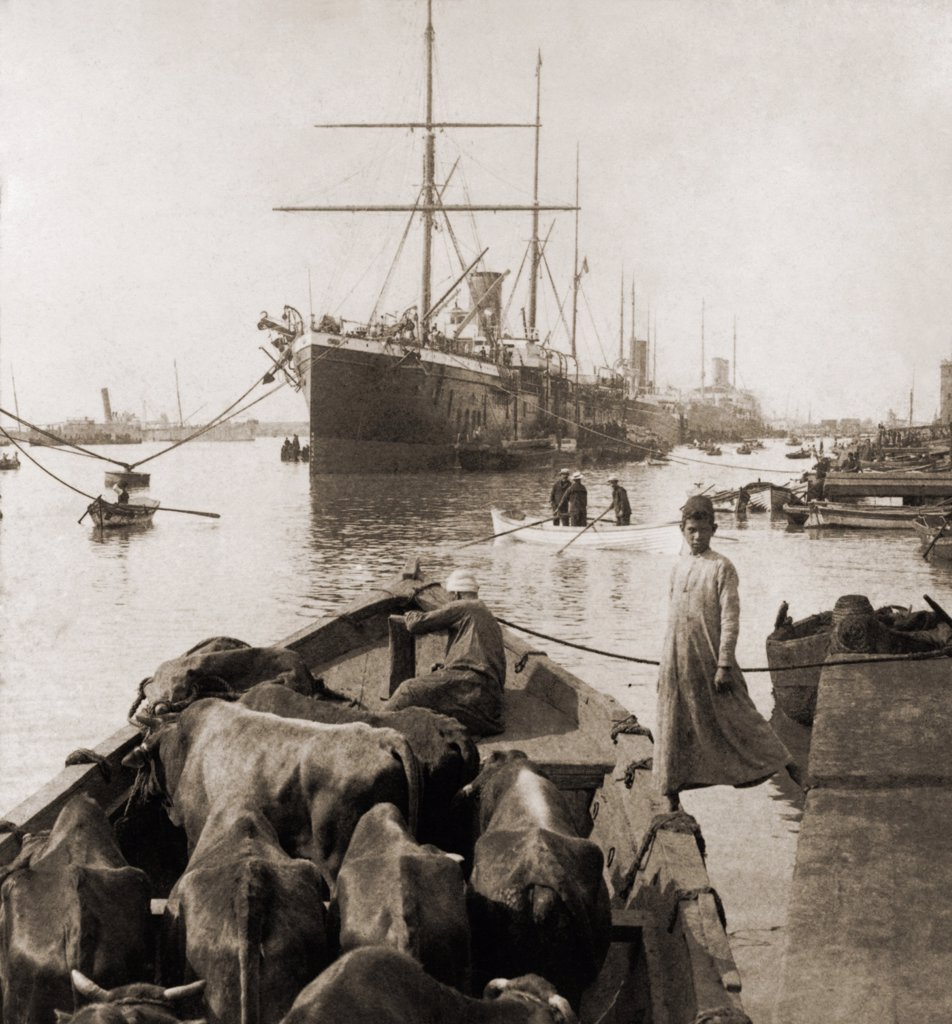 Stock Photo: 4048-7763 Cattle in a small boat destined to provide beef for the ocean liners anchored in the Suez Canal Port Said. 1900. LC-USZ62-103021