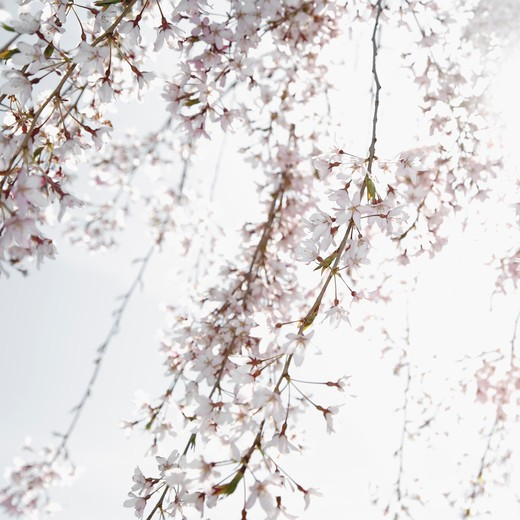 Close-up of Cherry blossoms : Stock Photo