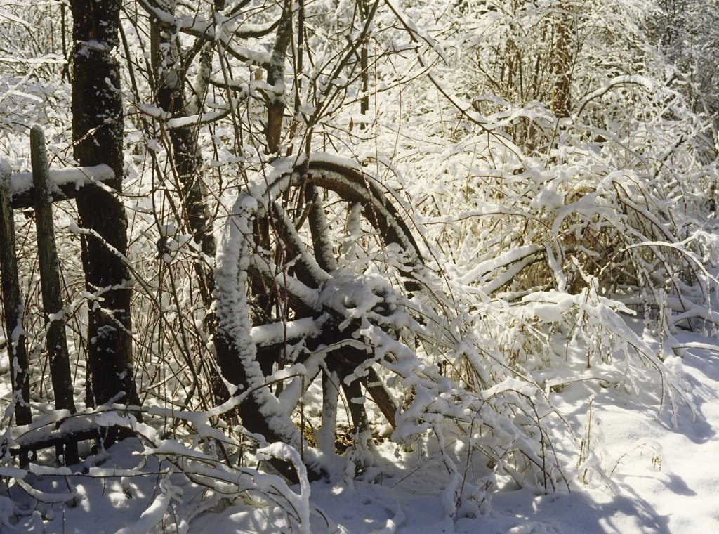 Stock Photo: 4053-10960 WINTER: Old wooden wagon wheel against trees in the snow.